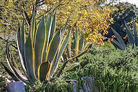 Agave americana var. marginata (Variegated Century Plant) with Parkinsonia 'Desert Museum' Los Angeles Natural History Museum