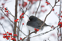 01569-015.03 Dark-eyed Junco (Junco hyemalis) in Common Winterberry (Ilex verticillata)  in winter, Marion Co. IL