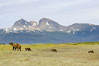 Kodiak grizzly bear (Ursus arctos middendorffi) mother and three spring cubs, Hallo Bay