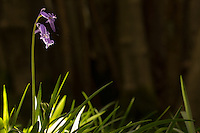 Bluebells (Hyacinthoides non-scripta) flowering in woodland. Surrey, UK.