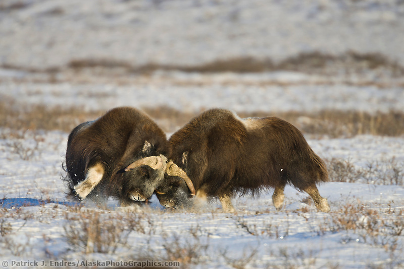 Two bull muskoxen crash horns in a sparring duel on the snow covered tundra of Alaska's Arctic Coastal Plain.