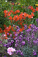 red-orange flower peruvian lily (Alstroemeria) with violet wallflower in California garden