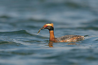 Adult Horned grebe (Podiceps auritus) in breeding plumage with bay shrimp prey. Island County, Washington. April.