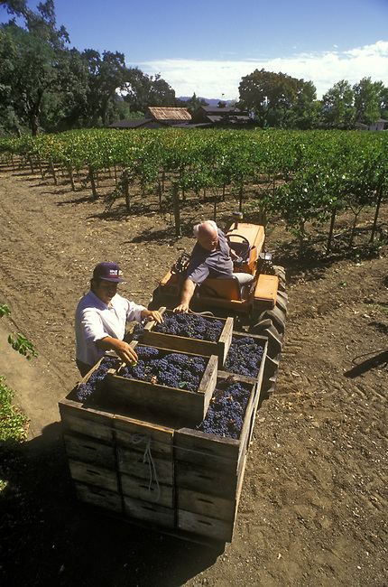 Picking Petit Sirah grapes by home winemaker, Earle Presten, in St. Helena, CA