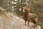 Mountain Goats and Bighorn Sheep