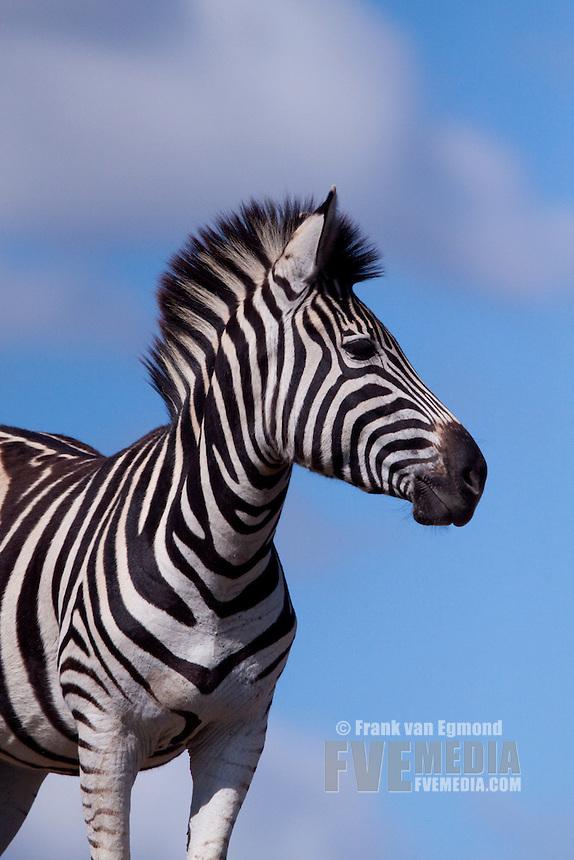 Plains Zebra (Equus Quagga)..Portrait..April 2009, fall..Tala Game Reserve, Kwazulu-Natal, South Africa.