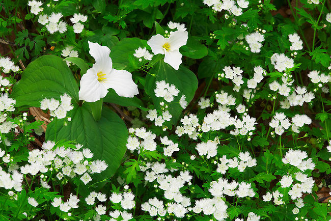 Wildflower garden of large-flowered trillium and fringed phacelia