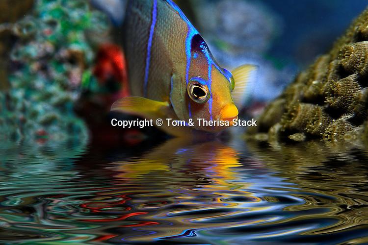 Angelfish Fantasy Pool