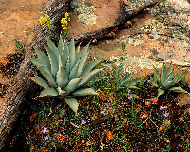 Agaves, Spiderworts (Tradescantia occidentalis), and Goldenrod (Solidago Wrightii) on the Mogollon Rim; Apache-Sitgreaves National Forest, AZ