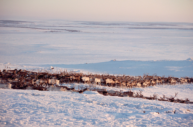 A Sami reindeer herd at their winter pastures near Lovozero on the Kola Peninsula. NW Russia
