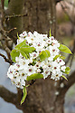 Blossom of Callery pear 'Chanticleer' (Pyrus calleryana 'Chanticleer'), mid March. An ornamental tree, not grown for its small, brown, inedible fruit.