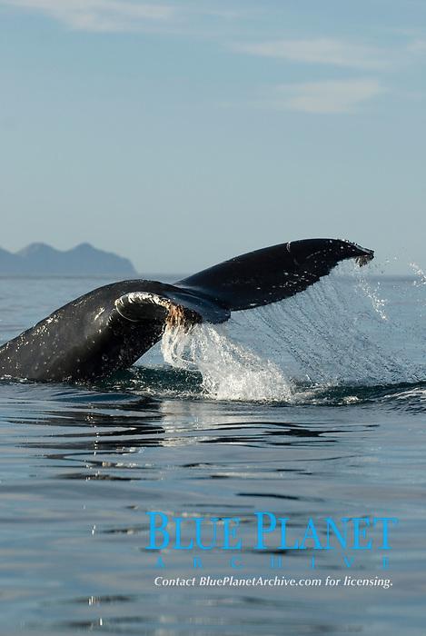 Humpback whale (megaptera novaeangliae) Gulf of California. The tail of a humpback whale., Baja California, Mexico, Pacific Ocean