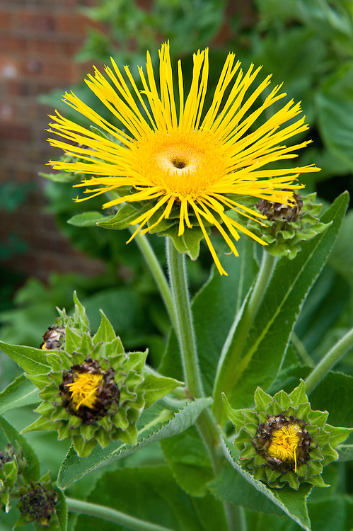 Inula magnifica x racemosa 'Sonnenstrahl', mid June.