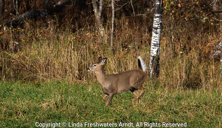White-tailed fawn running in a northern Wisconsin field.