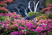 Bougainvillea flowers and waterfall at garden in Kauai, Hawaii