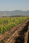 Chile Wine Country: Vineyards at Undurraga Winery, Vina Undurraga, near Santiago..Photo #: ch422-32819..Photo copyright Lee Foster, 510-549-2202, www.fostertravel.com, lee@fostertravel.com.