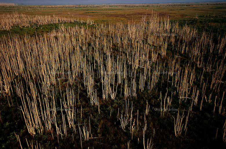 "Forests of dead Melaleuca trees stand in wetland prairies in the Everglades. The invasive tree took over 500,000 acres of South Florida wetlands before restoration began near Lake Okeechobee. South Florida Water Conservation and the Everglades National Park are embarked on the largest wetlands restoration attempted--and the most expensive. <br /> <br /> Melaleuca (Melaleuca quinquenervia), of Australian origin, forms a dense monoculture choking out all other plant life as seeds blow across the ""River of Grass."" Melaleuca invasions displace native plants and animals, the tree constitutes a severe fire hazard due to volatile chemicals in its leaves, and attempts to control the weed are very costly on a per area treated basis. The management manual removal of saplings), physical methods (prescribed burns and water level management), and biological control. Chemical, physical and mechanical methods are currently being employed, with limited success and various constraints on their practicality."