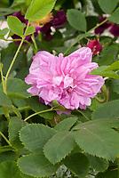 Rosa 'Omar Khayyam' (Damask Rose heirloom from 1893, pink, Omar Khayyam. Old Rose. ragrant, medium-sized, soft pink flowers, each with a distinct button eye. Grey-green, downy foliag