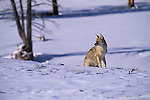 Coyotes (Canis latrans) sitting in the snow. Yellowstone National Park, WY