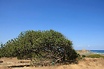 Israel, Carmel coast, a Carob tree in Karta ruins.