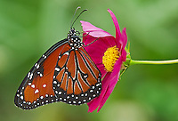 379900020 a captive queen butterfly danus glippus perches on a purple flower bloom at the butterfly pavilion at the santa barbara museum of natural history santa barbara california united states