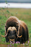 MB437  Muskox bull in arctic wildflowers.  Arctic National Wildlife Refuge, Alaska.  July.