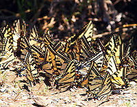 Large group of western tiger swallowtails and a few pale swallowtails muding on bank of Rogue river.