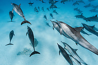 RZ0801-D. Spinner Dolphins (Stenella longirostris), wide ranging tropical species, feeds primarily at night in open water on squid and fish, spends afternoon socializing and resting in shallow, protected waters near a coral reef. Egypt, Red Sea.<br /> Photo Copyright &copy; Brandon Cole. All rights reserved worldwide.  www.brandoncole.com