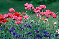 Purple irises with red and pink poppies