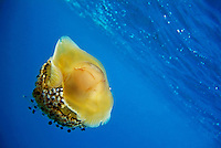 Fried Egg Jellyfish (Cotylorhiza tuberculata) swimming in blue waters, Fromages, Maire Island, Marseille, France.