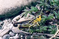 Große Höckerschrecke, Weibchen, Arcyptera fusca, Stethophyma fusca, Large banded grasshopper, female, L'Arcyptère bariolée, Le Criquet bariolé