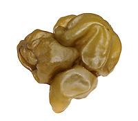oyster thief<br /> Colpomenia peregrina