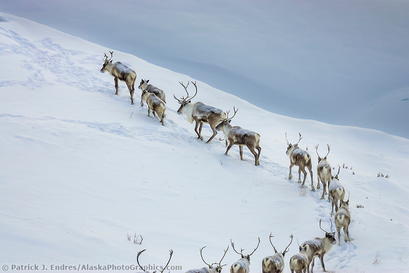 Caribou migrate through the Brooks Range mountains in Alaska's Arctic.