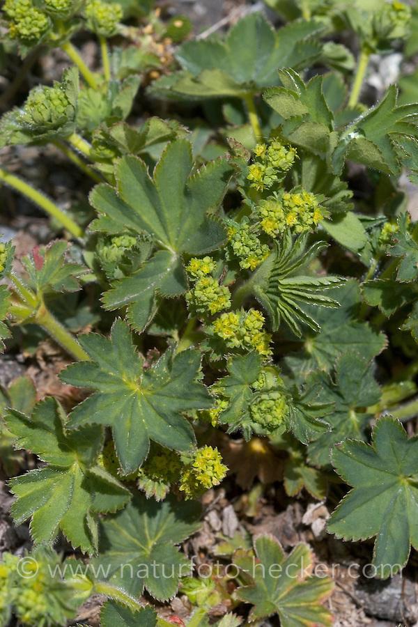 Gewöhnlicher Frauenmantel, Gelbgrüner Frauenmantel, Alchemilla xanthochlora, Alchemilla vulgaris, Lady´s Mantle