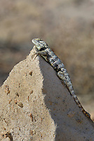 442800026 a wild yellow-backed spiny lizard sceloparus uniformis perches on a large rock in inyo county california