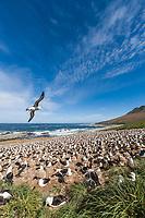 Black-browed albatross colony. Steeple Jason Island, Falkland Islands