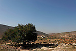 Samaria, Carob tree (Ceratonia Siliqua) on Nabi Nun hill in Yanun