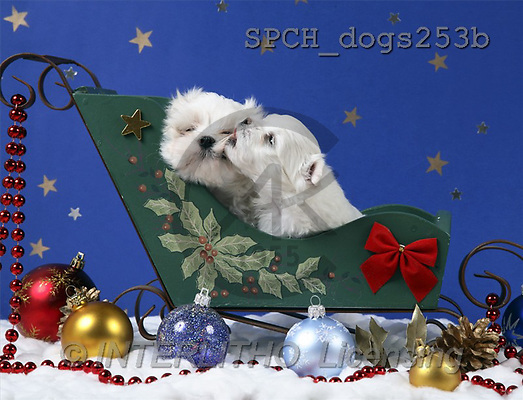 Xavier, CHRISTMAS ANIMALS, photos(SPCHdogs253b,#XA#)