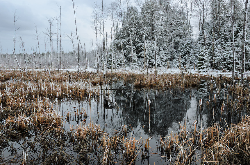 A fresh layer of late-spring snow coating the cattails and evergreens of an Upper Peninsula wetlands. Marquette County, MI