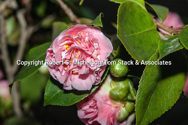 Camelia Japonica flowering