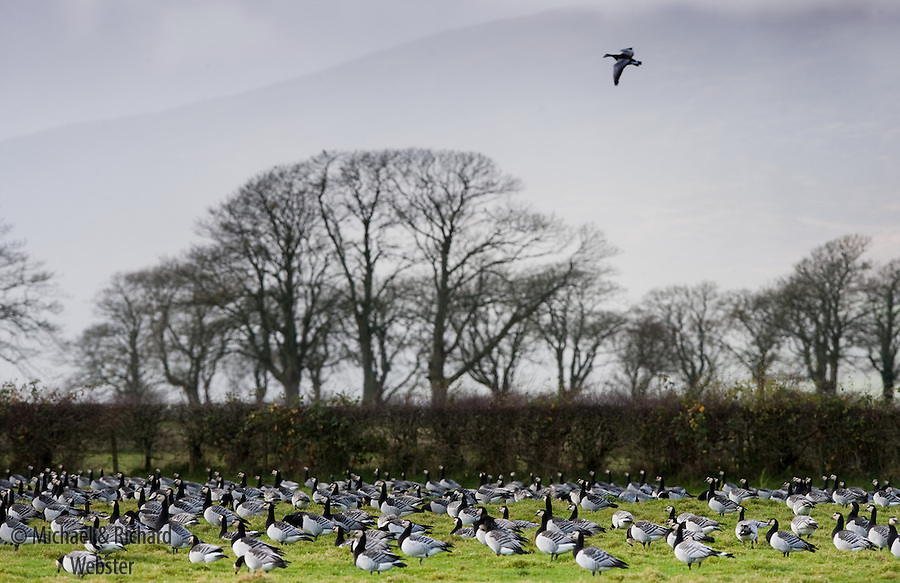 A lone Barnacle goose joins the rest of the flock.