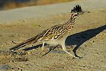 roadrunner running in Rancho Mirage