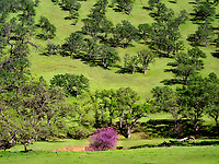 Meadow with Red bud blooming, and oak trees . Bear Valley. Colusa County, California