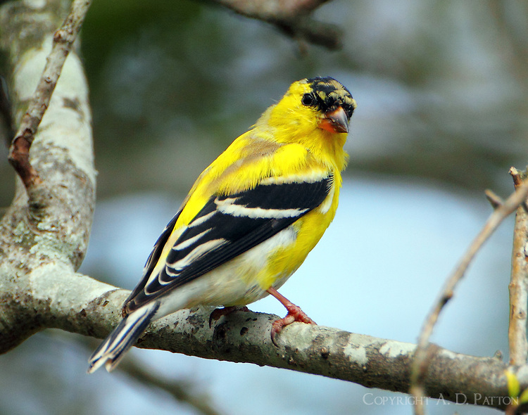 Male American goldfinch molting to breeding plumage on March 28