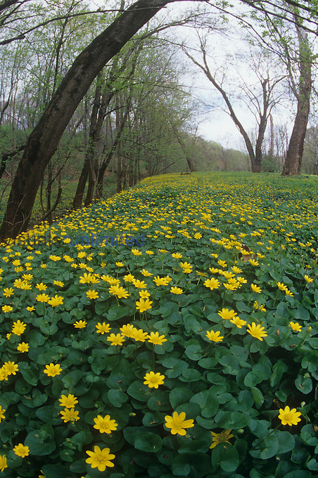 Marsh Marigolds ,Caltha palustris, North America.