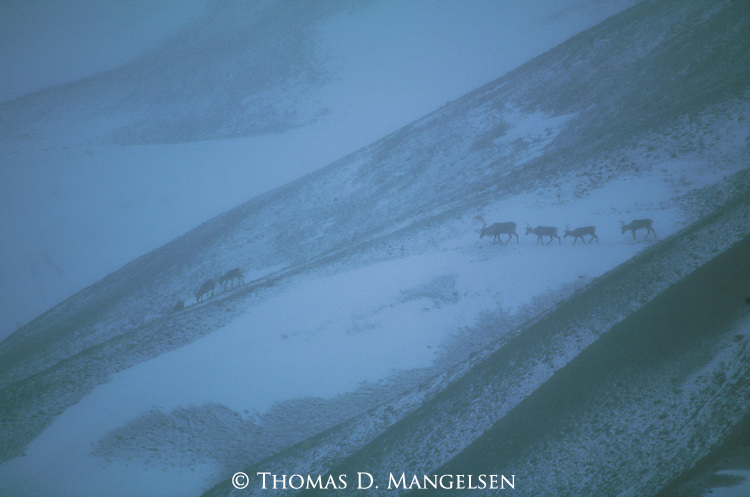 Caribou traveling over ridges of the Alaskan range in Denali National Park, Alaska.