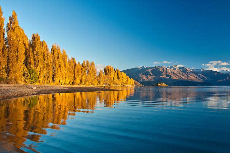 Autumn Poplars reflected in the pristine blue waters of Lake Wanaka, South Island,  New Zealand - stock photo, canvas, fine art print