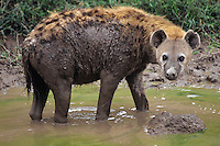 Spotted Hyena (Crocuta crocuta) cooling off in waterhole, Masai Mara National Reserve, Kenya.
