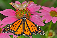 321000078 a captive male monarch butterfly danus plexippus perches on a cone flower next to a white peacock butterfly anartia jatrophae at the butterfly pavilion at the santa barbara museum of natural history santa barbara california united states
