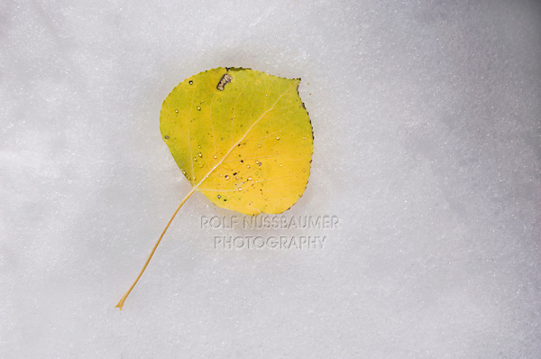 Aspen leaf with fallcolor in snow, Uncompahgre National Forest, Rocky Mountains, Colorado, USA, September 2006